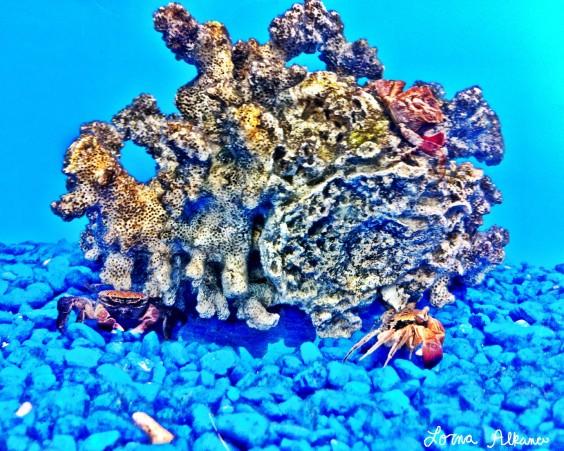 coral crab 1x20 web photo